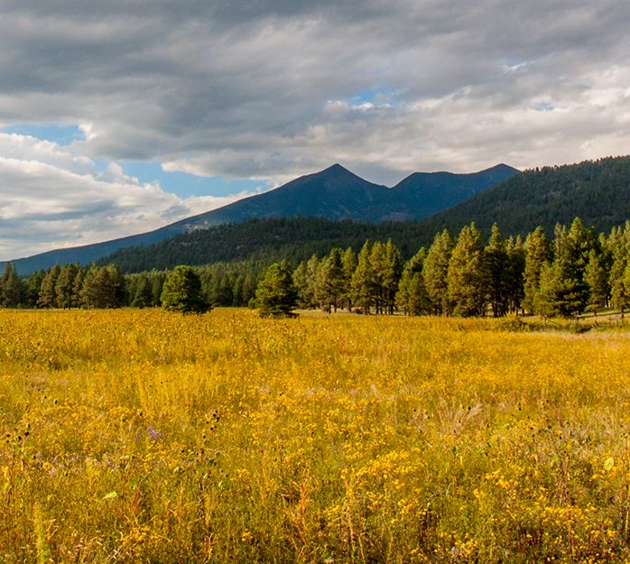 San Francisco Peaks with sunflowers in foreground